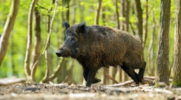Best Ways to Attract Wild Hogs